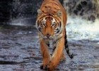 Follow the world's big cats
